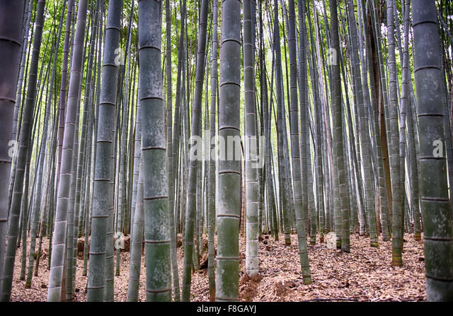 the eternal bamboo forest - Stock Image