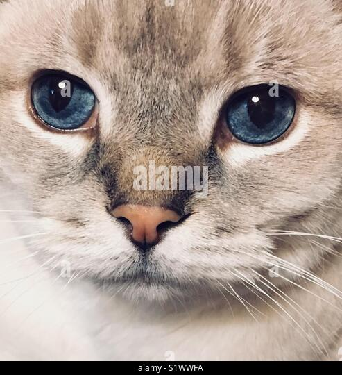 Siamese cat portrait - Stock Image