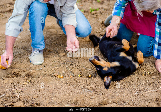 Unrecognizable senior couple planting onions in row, black dog - Stock Image
