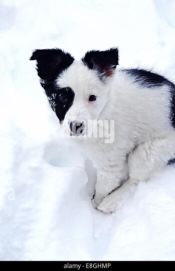 Canada, British Columbia, Puppy In Snow - Stock Image