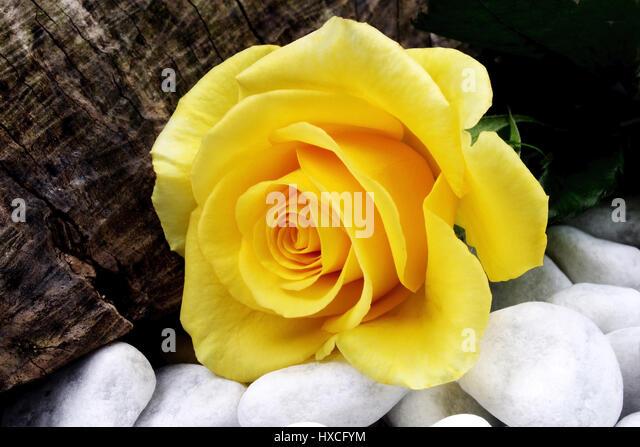 Roses on wei? to en stones and wooden piece, Rosen auf wei?en Steinen und Holzstueck - Stock-Bilder