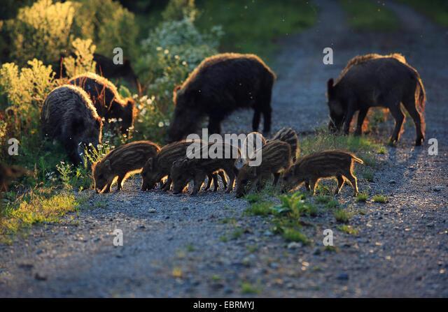 wild boar, pig, wild boar (Sus scrofa), females with runts in evening light, Germany, Baden-Wuerttemberg - Stock Image