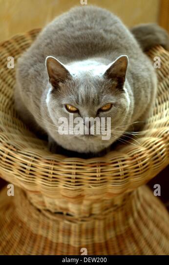Domestic Short Hair Cat Feeding