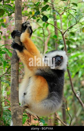 Diademed Sifaka (Propithecus diadema), adult, Andasibe-Mantadia National Park, Madagascar - Stock-Bilder