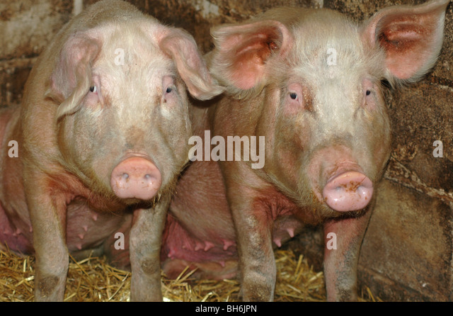 2 pigs looking sad - Stock Image