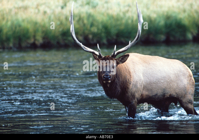 A 5X5 bull elk or wapiti crosses the Madison River in Yellowstone National Park Wyoming COPYRIGHT DUANE BURLESON - Stock Image
