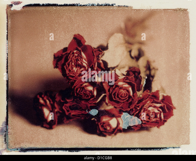 dried bunch of red roses. polaroid transfer. ©mak - Stock Image