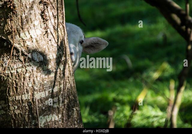 A sheep peering around a tree - Stock Image
