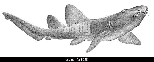 shark drawing stock photos shark drawing stock images. Black Bedroom Furniture Sets. Home Design Ideas