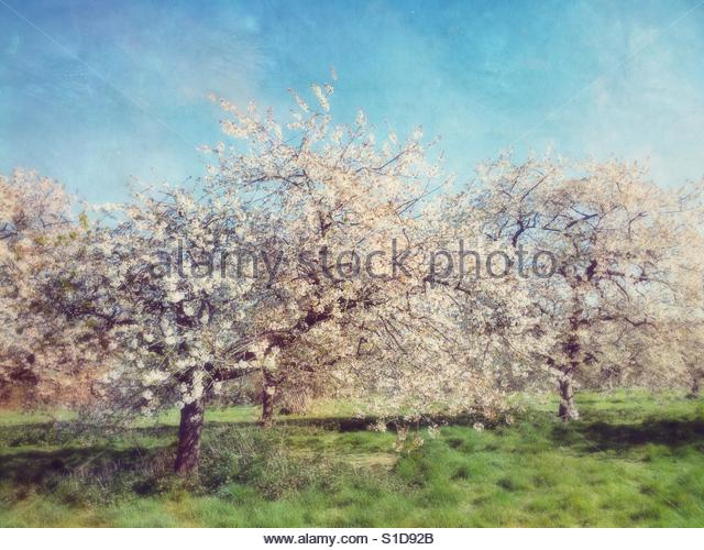 Cherry Trees in Blossom - Stock Image