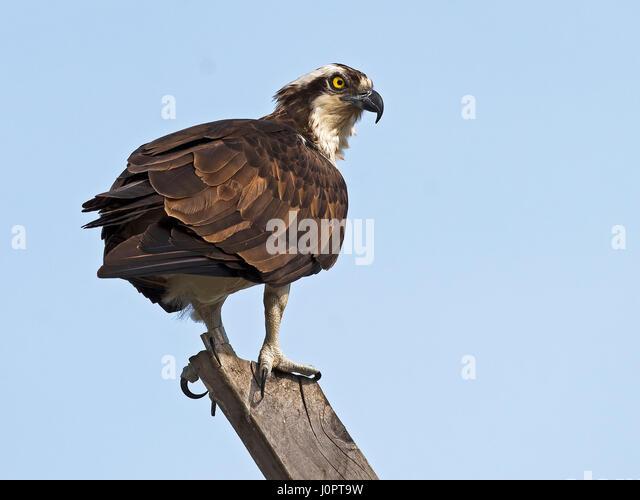 Male Osprey at Nest - Stock Image