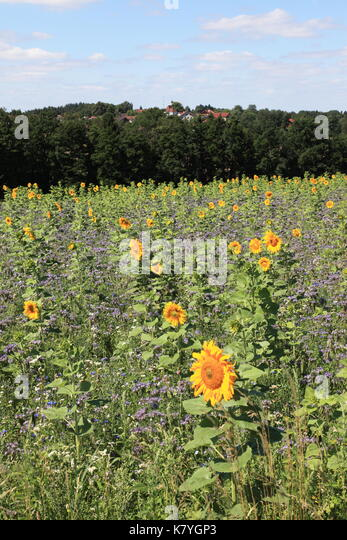 blooming sunflower field. Photo by Willy Matheisl - Stock Image