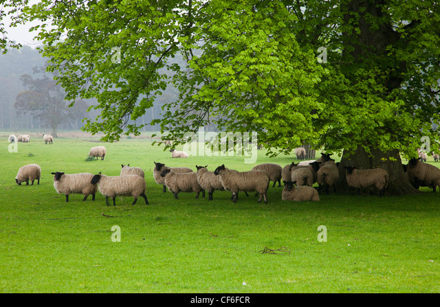 Sheep Grazing On The Grass Under The Shade Of A Tree; Northumberland England - Stock Image