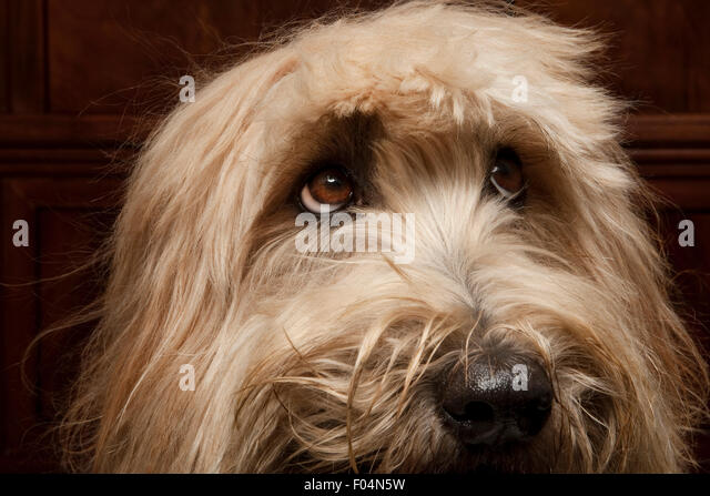 close up studio portrait of expressive Labradoodle dog face with cute haircut - Stock Image