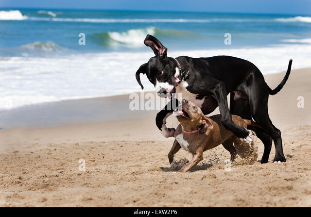Great Dane and Pitbull run and play hard at beach - Stock Image