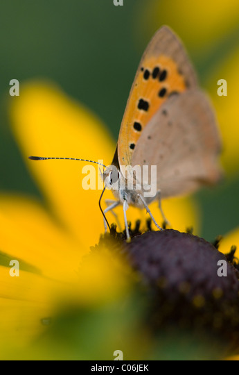 Small copper butterfly - Lycaena phlaeas collecting pollen - Stock Image