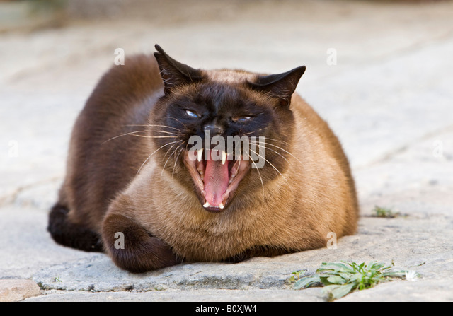 Siamese cat yawning, portrait - Stock Image