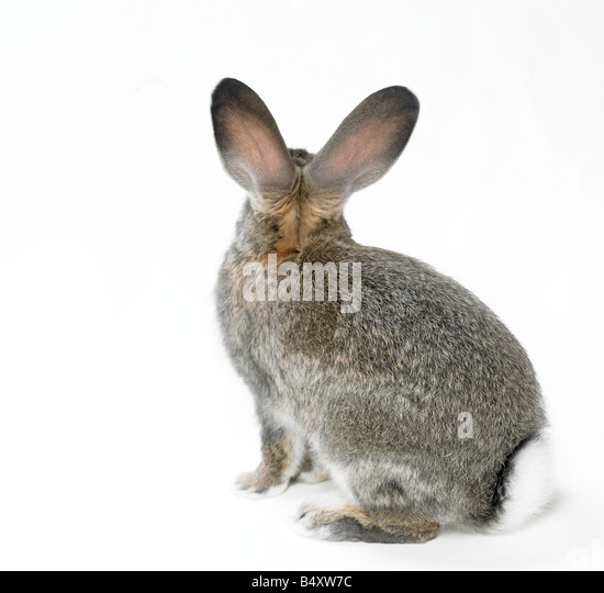 wild rabbit on white cutout - Stock Image