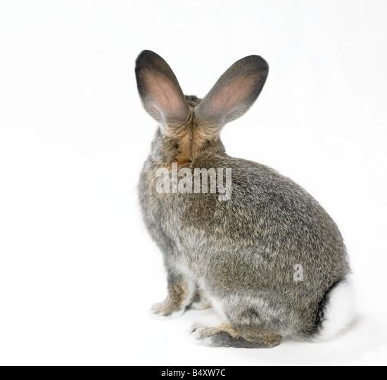 wild rabbit on white cutout - Stock Image