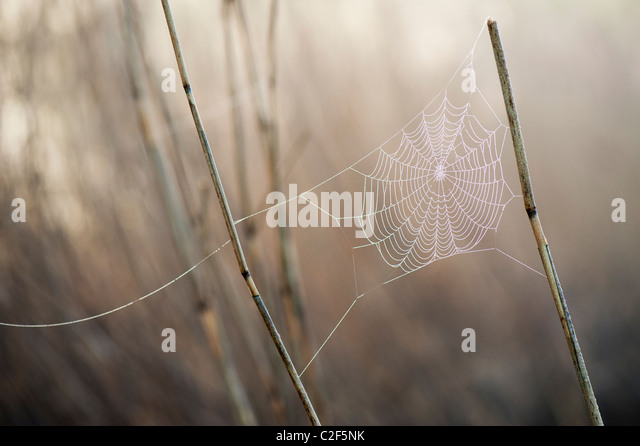 Spiders web covered in misty dew attached to reeds in the English countryside - Stock Image