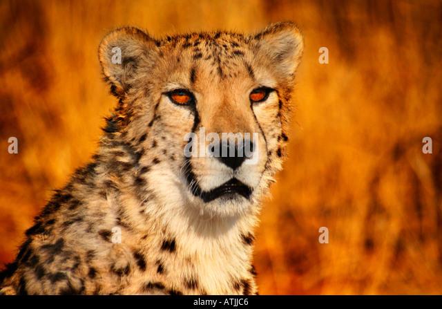 Africa Namibia Okonjima Cheetah ( Acinonyx jubatus ) - Stock-Bilder