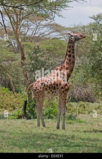 Rothschild's Giraffe browsing in acacia woodland in Lake Nakuru National Park Kenya East Africa  ROTHSCHILD'S GIRAFFE - Stock Image