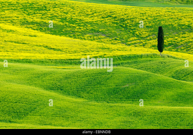 Italian cypress (Cupressus sempervirens), Green and Hilly Farmland with Cypress, Val d' Orcia, San Quirico d' - Stock Image