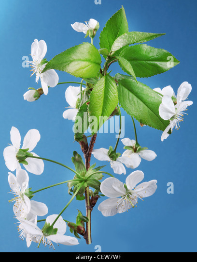 Three cherry flowers on a blue background. - Stock-Bilder