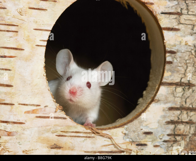 fancy mouse in den - Stock Image