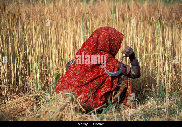 Painting Woman Using A Sickle In A Corn Field