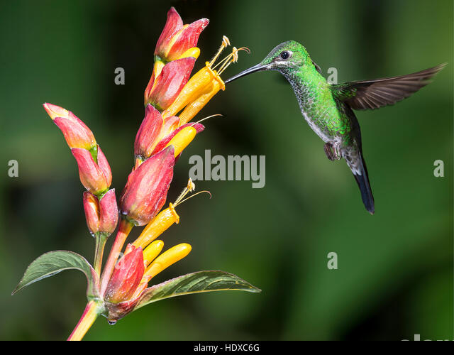 Green-crowned brilliant (Heliodoxa jacula) feeding - Stock Image
