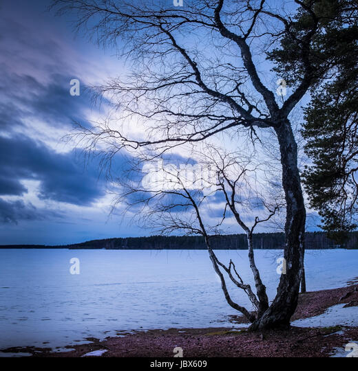 Landscape with curve tree and nice evening mood at winter time - Stock Image