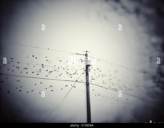 Flock of Starling birds taking off from electrical pole on a dreary overcast day. British Columbia, Canada. - Stock Image
