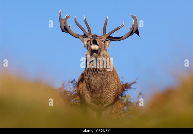 RED DEER Cervus elaphus An adult stag roaring during the October rutLeicestershire, UK - Stock-Bilder