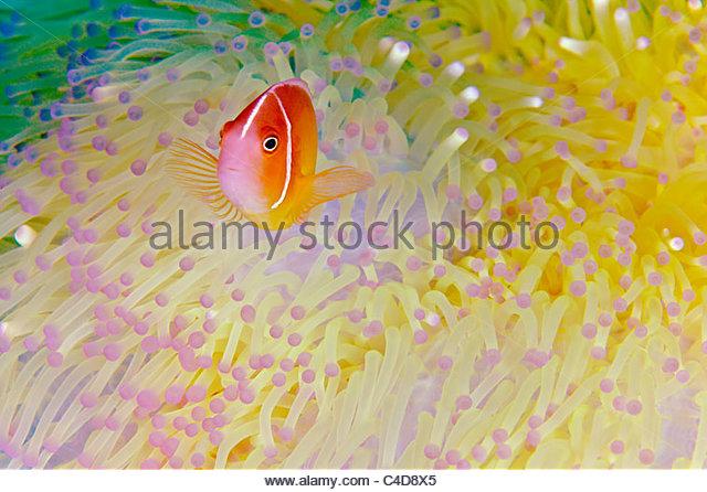 Indonesia, Papua, Raja Ampat, Misool Island, Skunk anemonefish (Amphiprion akallopisos)  - Stock Image