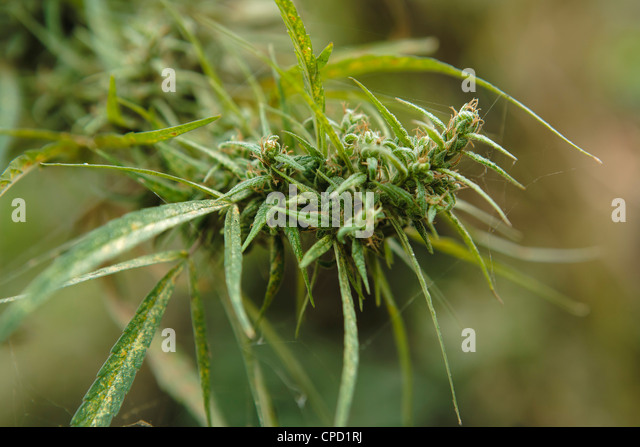 Cannabis (Cannabis Sativa) bud grown locally by villagers for recreational use, Pokhara, Nepal, Asia - Stock Image