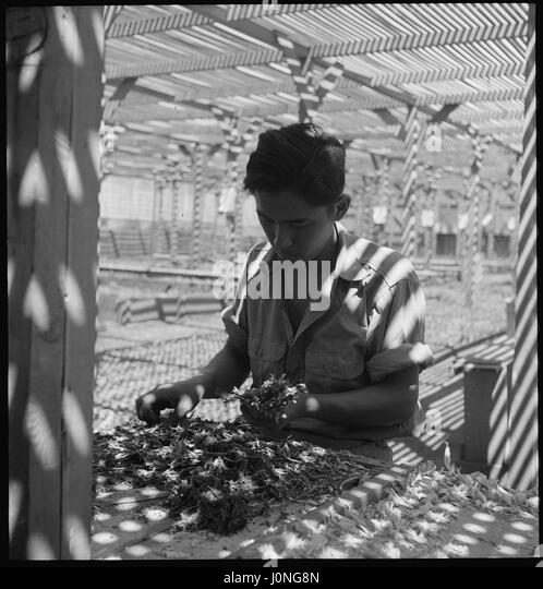A Japanese man evacuated from his home sorts seedlings from the Salinas Experiment Station for transplanting at - Stock Image