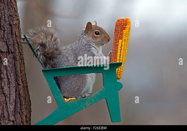 Eastern Gray Squirrel eating corn on cob - Stock Image