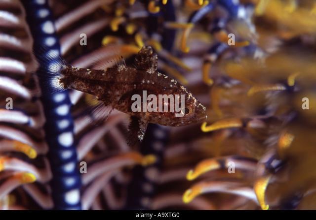 Bay Cardinal Fish - Stock Image
