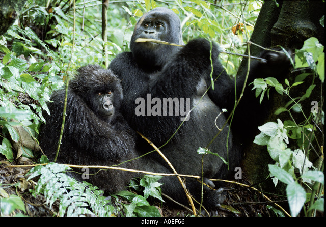 Pair of Mountain gorillas in the crater of an extinct volcano in the rain Parc des Virungas Democratic Republic - Stock-Bilder