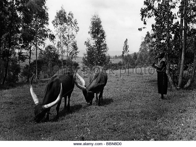 geography / travel, Democratic Republic of the Congo, people, woman with cattle, 1950s, central Africa, Zaire, Belgian - Stock-Bilder