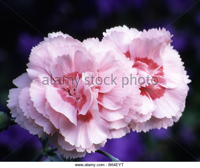Old-Fashioned Pinks - Dianthus - Select Seeds 19