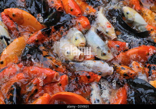 Fish farm feeding stock photos fish farm feeding stock for Koi fish farm near me