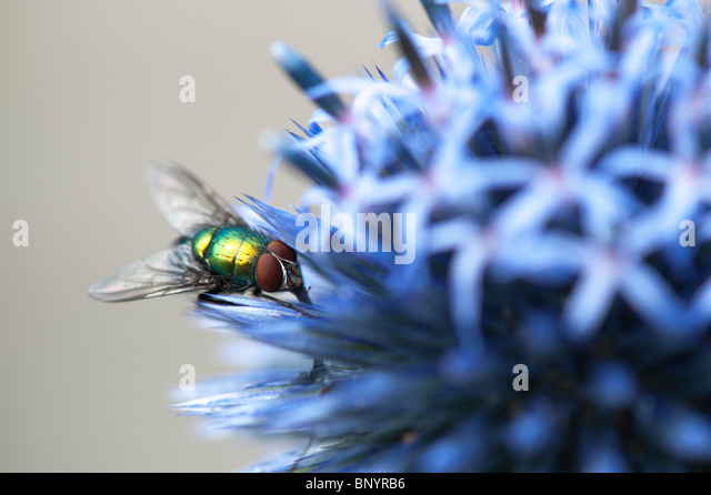 Green-bottle fly on Echinops ritro veitchs (globe thistle) flower - Stock Image