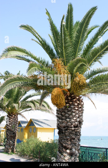 Trunk and top of a palm tree showing the seeds and fronds.Adriatic Coast,Italy - Stock Image