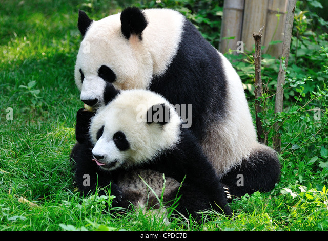 Panda mom and cub play on grass. Chengdu, Sichuan Province, China. - Stock Image