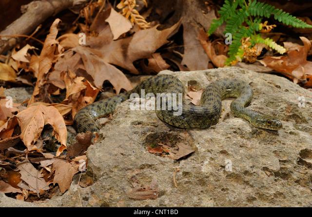 dice snake (Natrix tessellata), on a stone, Greece, Creta, Kournas See - Stock Image
