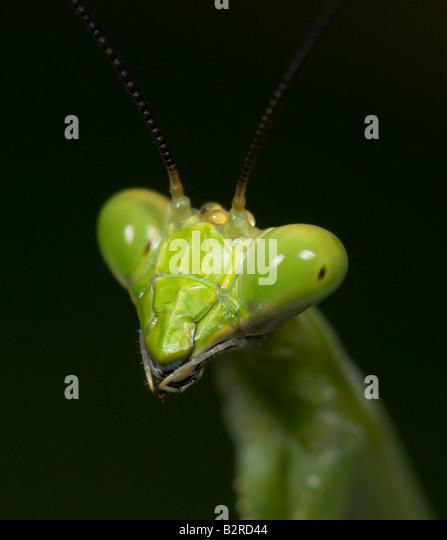 Praying Mantis FamilyMantidae Costa Rica - Stock-Bilder