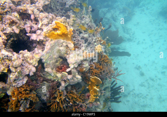 Coral reef in Mayan Riviera Cancun Mexico underwater - Stock Image