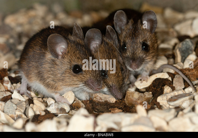 Three wood mice. - Stock Image